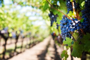 purple-grapes-553463_1280