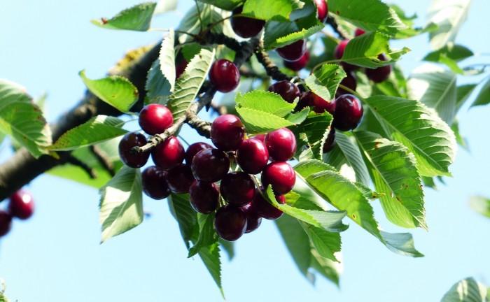 prunus_frutti