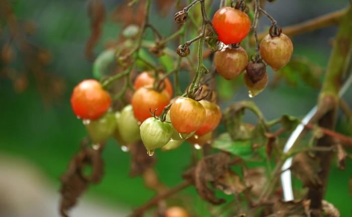 tomato-1723348_1280