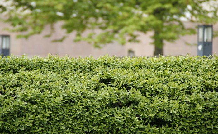 Guida alla scelta delle variet delle siepi da giardino - Siepi ornamentali da giardino ...