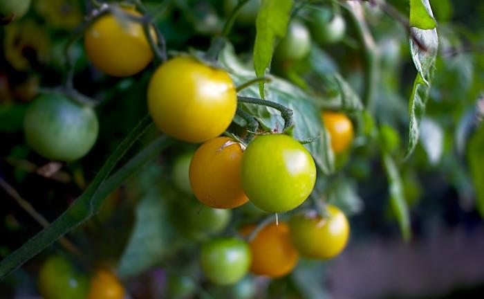 cherry-tomato-1558994_1920