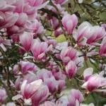 magnolia-3109866_1920