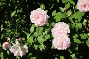 rose-3371340_1280