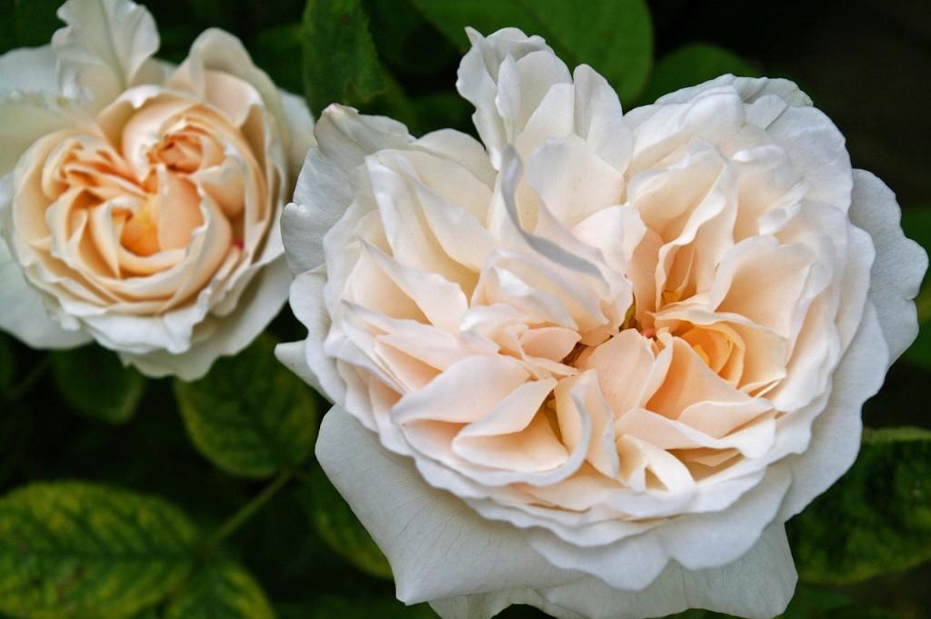 rose-1426316_1280