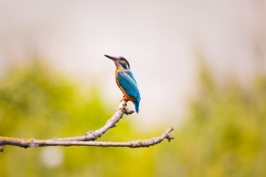 kingfisher-2363879_1280